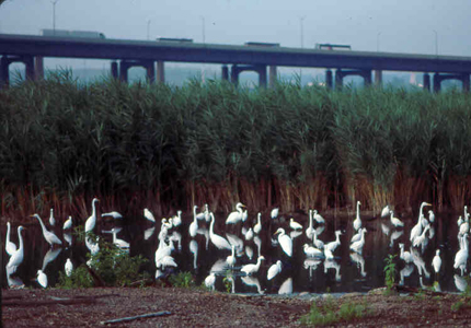 Herons and egrets within the Arthur Kill watershed