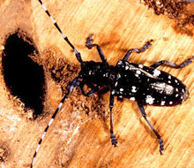 asian longhorned beetle, via Wikipedia