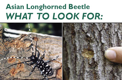asian longhorned beetle warning from the US Forest Service