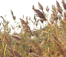 The Common Reed, photo from plant conservation alliance