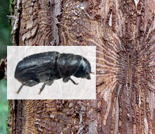 dutch elm beetle, via Wikipedia