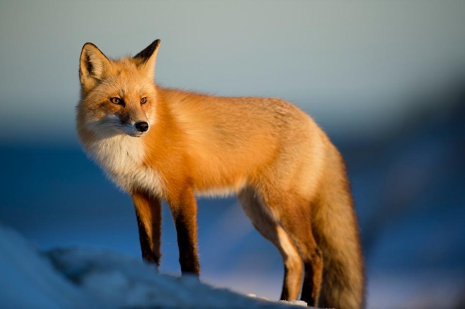 beaut fox