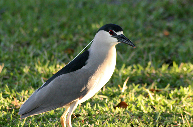 The black-crowned night-heron -- one of the harbor herons species making a dramatic recovery in the Arthur Kill/New York Harbor. (photo by Melanie Worob, EWA)