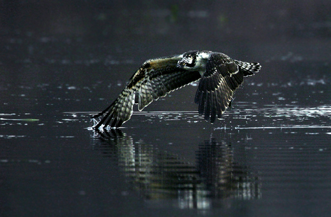 Osprey flying low over the water (photo by Tam Stuart)