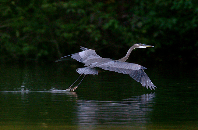 A rare sighting of a great blue heron (photo by Tam Stuart)